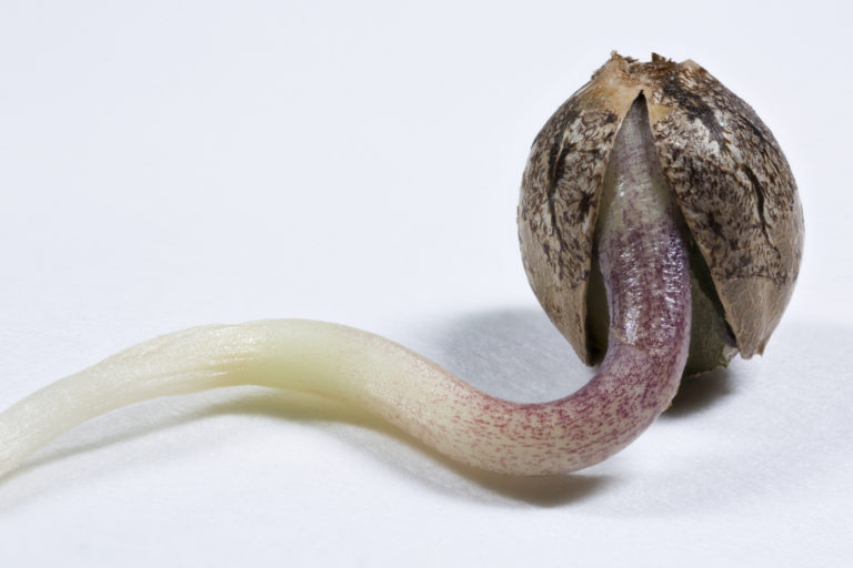 why do seeds need water to germinate